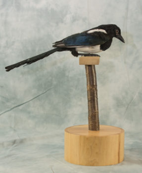 Magpie by Clare Foster