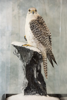 Gyr Falcon by Nigel Barton