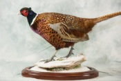 Ring-necked Pheasant by Donal Mulcahy