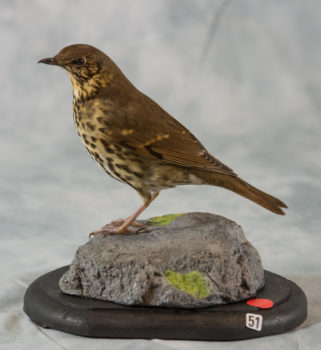 Song Thrush by Donal Mulcahy