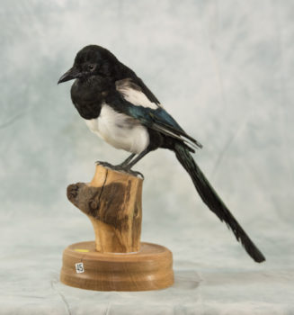 Magpie by Martin Bourne