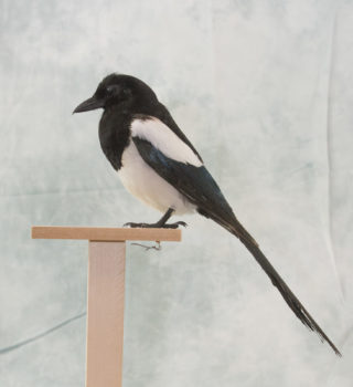 Magpie by Michael Dunne