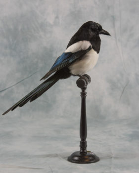 Magpie by Ann Friston