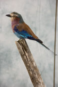 Lilac-breasted Roller by Jack Fishwick