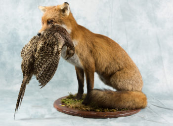 Fox with hen pheasant by Michael Dunne