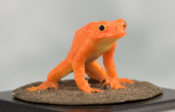 Golden Toad by Jack Fishwick