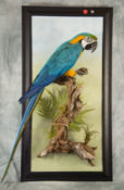 Blue & Gold Macaw <br> by Colin Scott