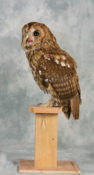 Tawny Owl by Sean Connell