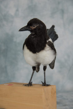 Magpie by Sean Connell