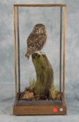 Little Owl by Will Hales