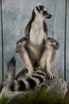 Ring-tailed Lemur by Will Hales