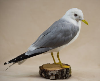Common Gull by Andrea Probert