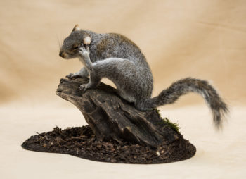 Grey Squirrel by George Jamieson