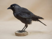 Jackdaw by Becky Dick