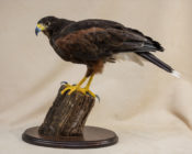 Harris Hawk by Stephen McIntyre