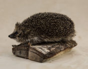 Hedgehog by Chris Voisey