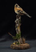 Brambling by Colin Scott