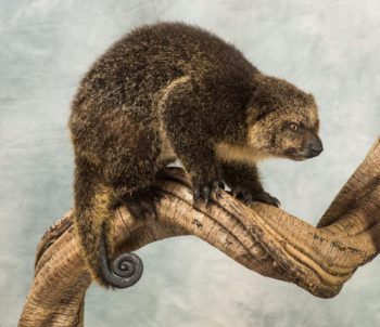 Immature Bear Cuscus by Derek Frampton
