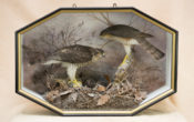 Sparrowhawks by Peter Scott