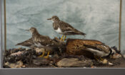 Turnstones & Purple Sandpiper by Jack Fishwick