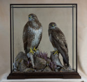 Buzzards by Peter Scott