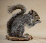 Grey Squirrel by Andrea Probert