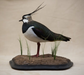 Lapwing by Mark Buhagiar