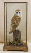 Barn Owl by Donal Mucahy