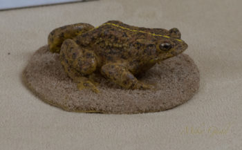 Natterjack Toad by Dave Astley