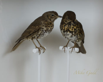 Song Thrush by Jazmine Miles-Long