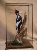 Ivory-billed Woodpecker by Derek Frampton