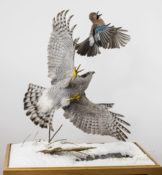 Goshawk & Jay by Mike Gadd