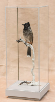 Red-vented Bulbul by Jack Fishwick