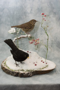 Song Thrush & Blackbird by Donal Mulcahy