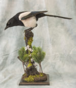 Magpie by Donal Mulcahy