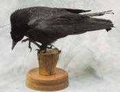 Crow by Martin Bourne