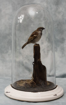 Sparrow by Jed Balmer