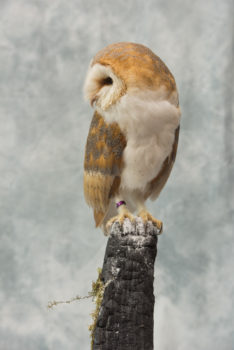 Barn Owl by Jed Balmer