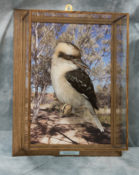 Kookaburra by Will Hales