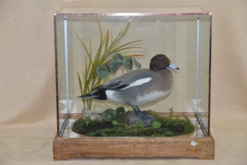 Wigeon by Donal Mulcahy