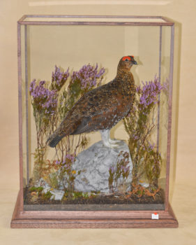 Red Grouse by Colin Scott