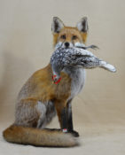 Fox with Bantam by Colin Scott