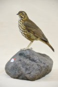 Song Thrush by David Irwin