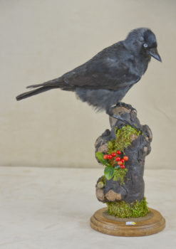 Jackdaw by Emilie Verity