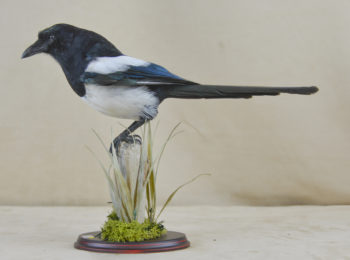 Magpie by Izzy Rochester