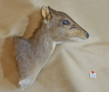 Third Game Head <br> Blue Duiker by Will Matthews