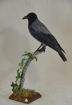 Hooded Crow by Michael Dunne