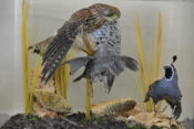 Kestrel and Californian Quails by Dave Hogan