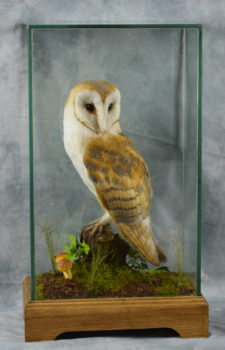Barn Owl by Donal Mulcahy