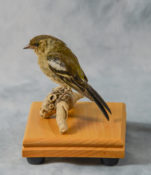 Juvenile Chaffinch by Isobel Hiom